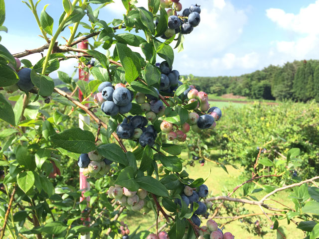 There is not a fruit shedding of the blueberry.